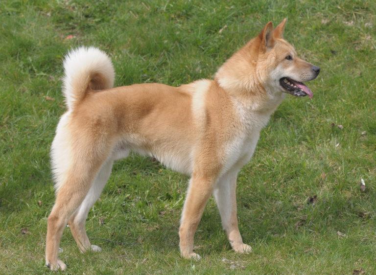 Korea Jindo Dog rehbraun