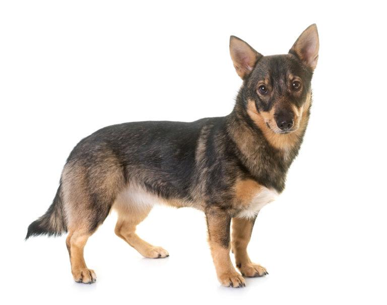 Schwedische Wallhund