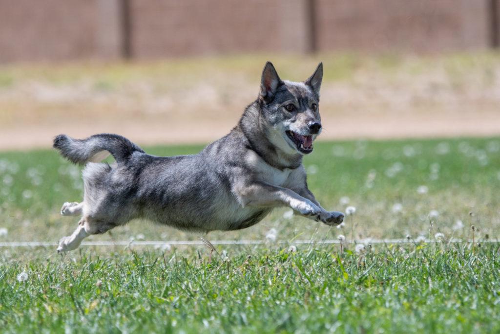 Schwedische Wallhund glücklich
