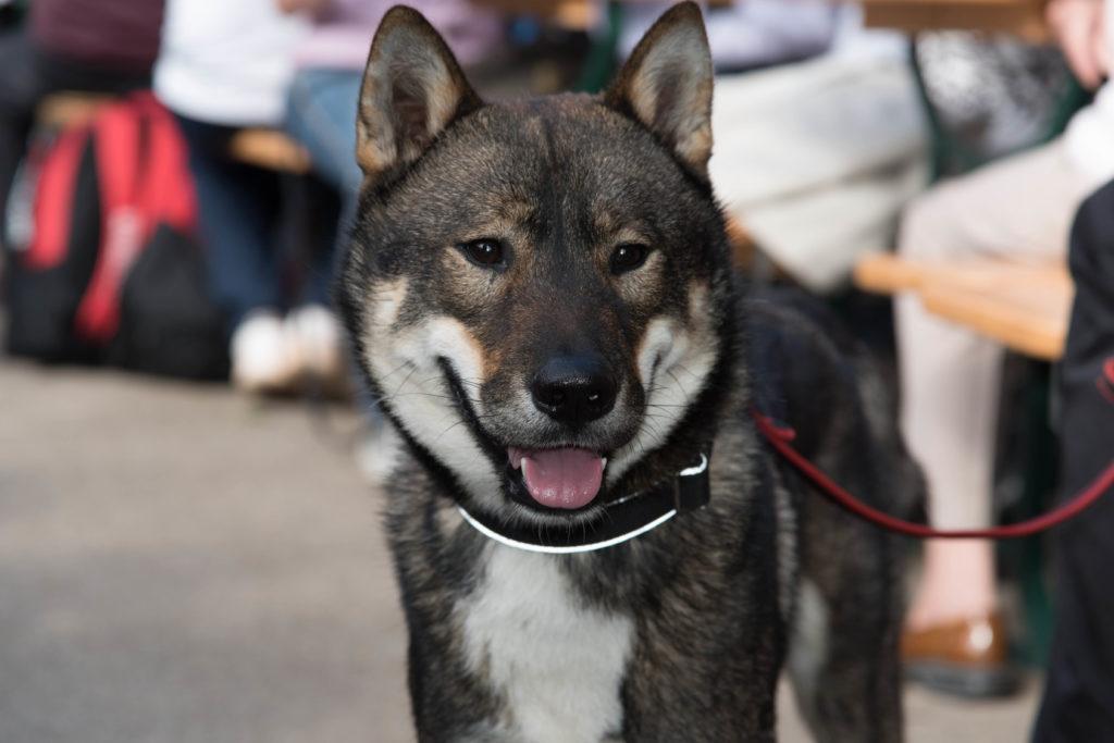 Shikoku Hund Gesicht