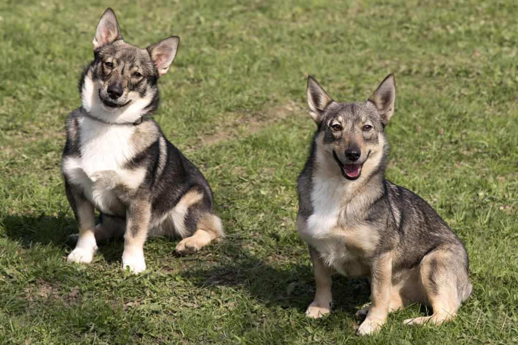zwei Schwedische Wallhunds im grass