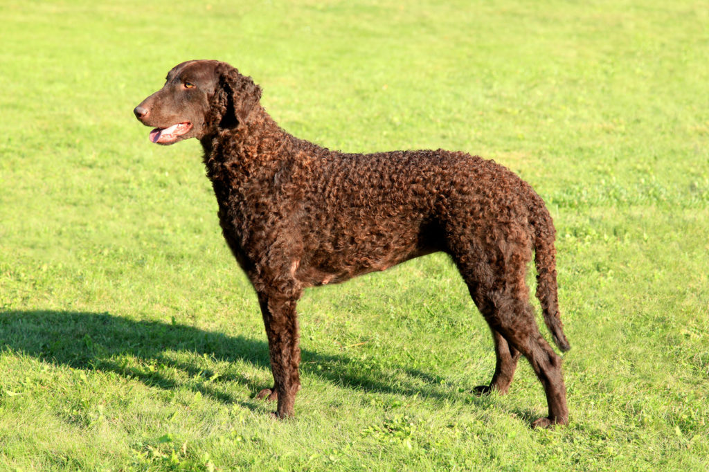 Curly Coated Retriever Braun