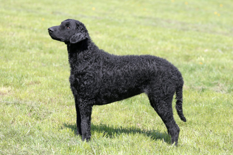 Curly Coated Retriever Schwarz