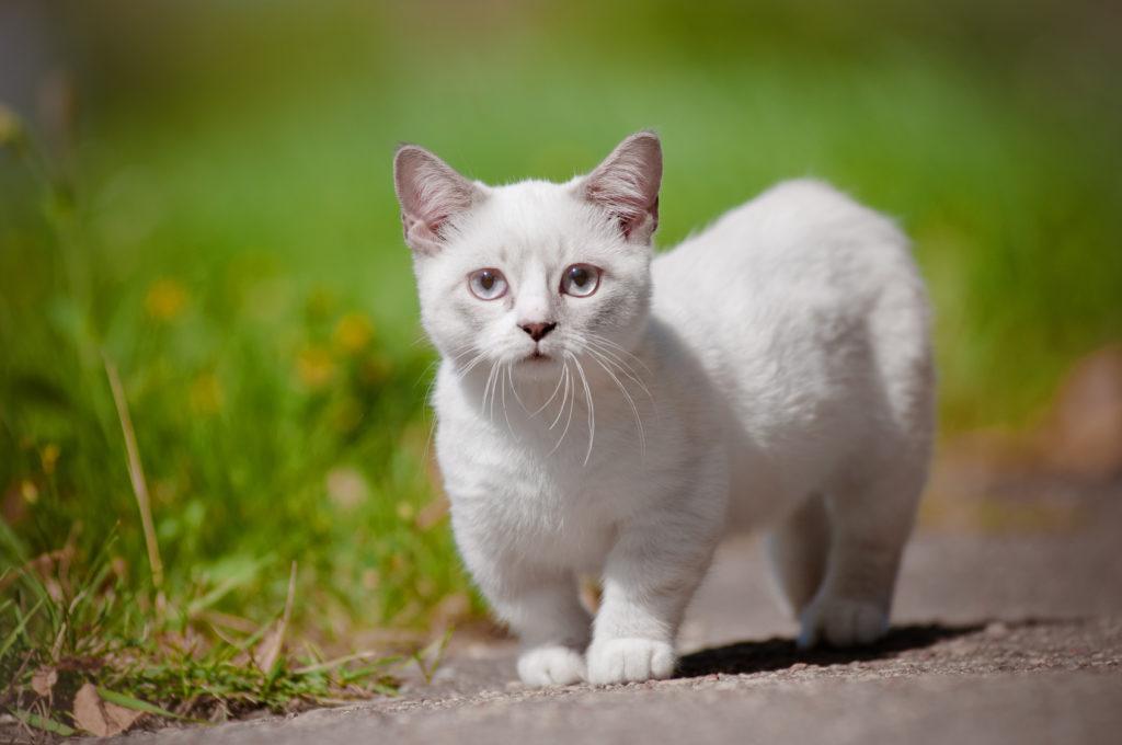 Munchkin Kitten weiß