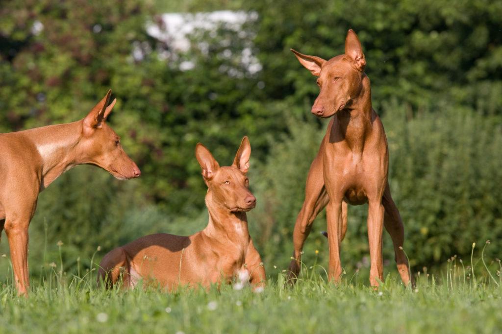 drei pharaonenhunde