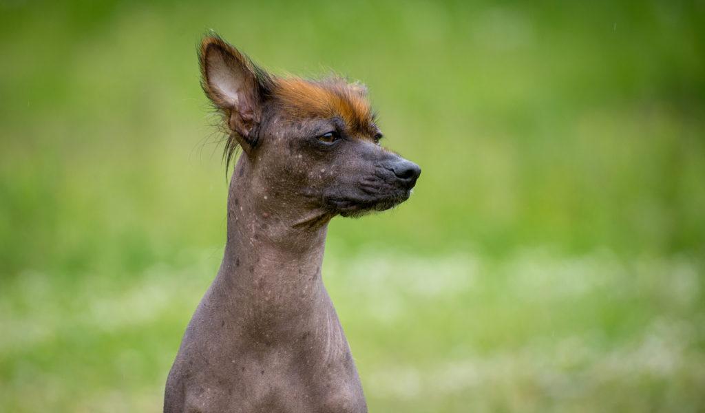 peruanischer nackthund mit haare