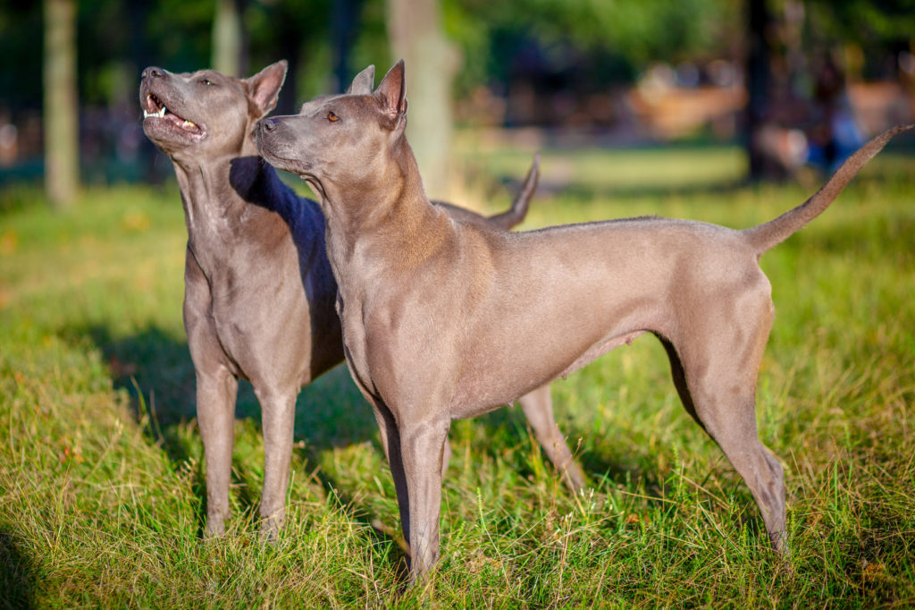 zwei thai ridgeback hunde