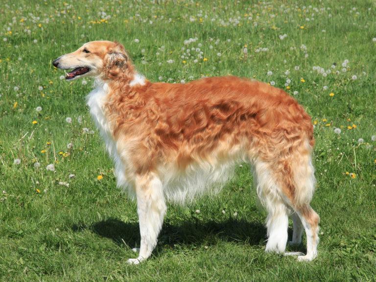 Barsoi Hund