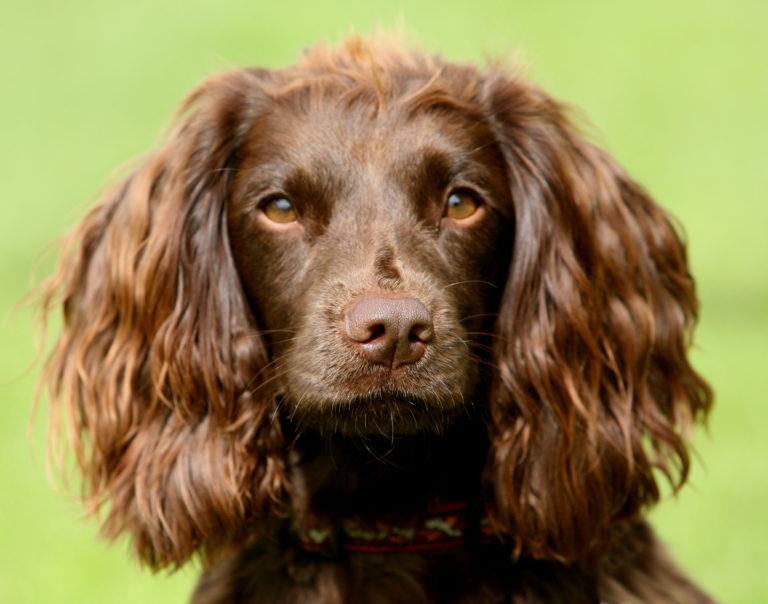 Field Spaniel portrait