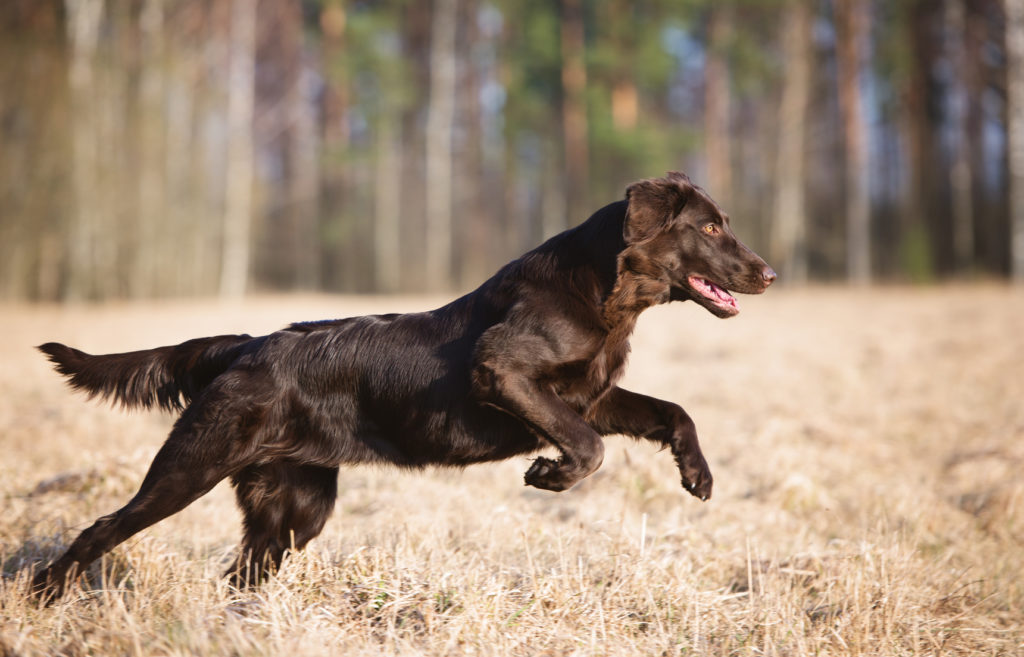 Flat Coated Retriever Braun läuft