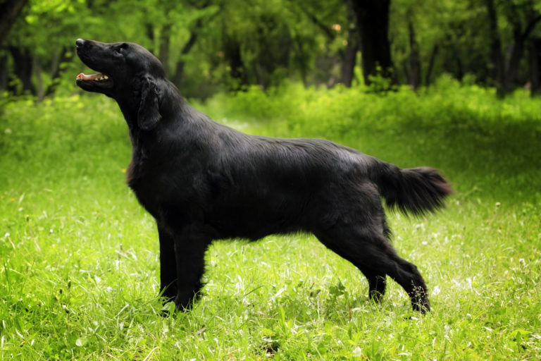 Flat-Coated Retriever schwarz