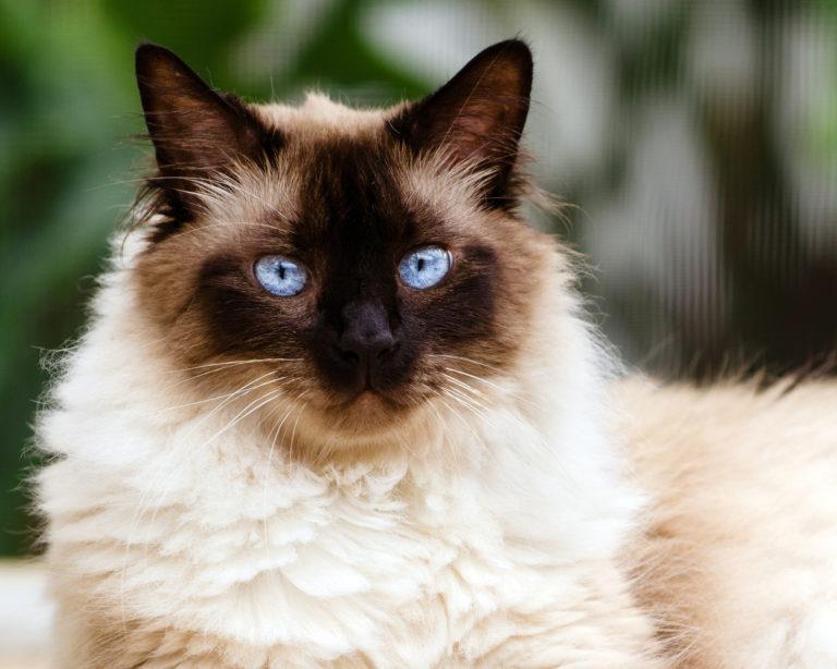 Himalayan Katze