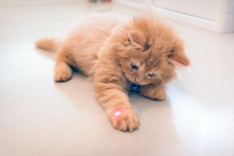 Laserpunkt auf einer Kätzchenpfote