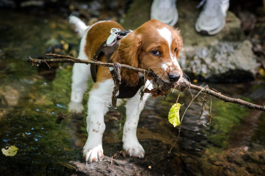 Welsh Springer Spaniel Welpe spielt