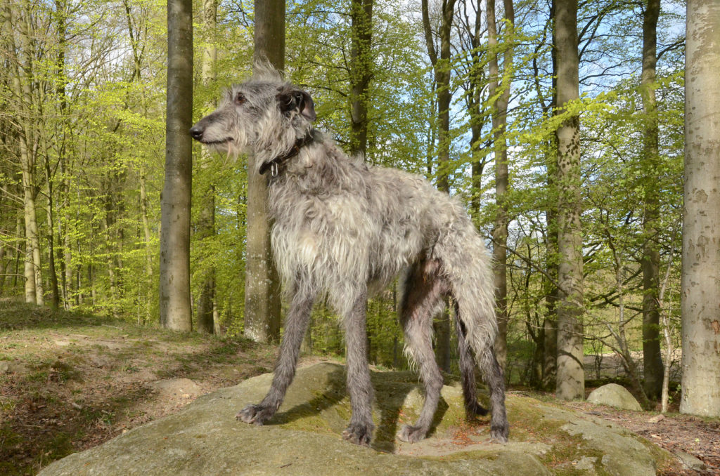 grau Deerhound