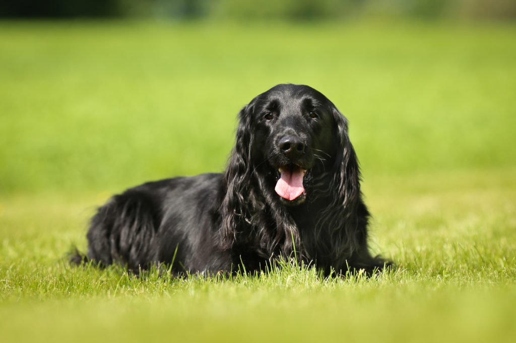 reinrassiger flat-coated retriever im grass