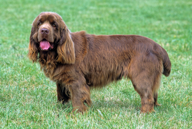 Sussex Spaniel im Grass
