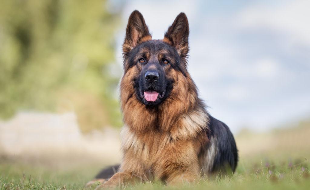 deutscher schäferhund futter