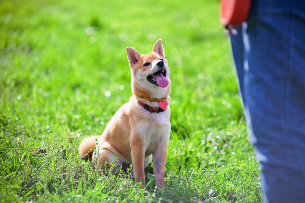 shiba inu hund training