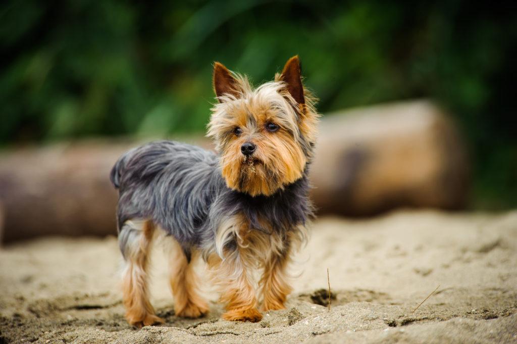 yorkshire terrier am meer