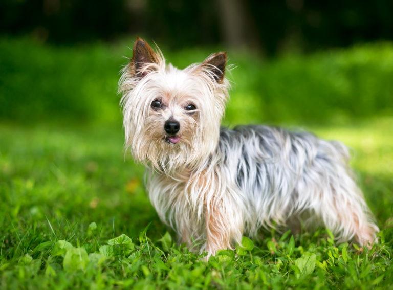 yorkshire terrier im grass