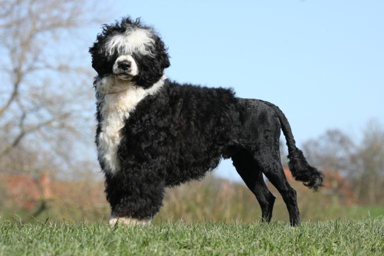 Portugiesischer Wasserhund im grass