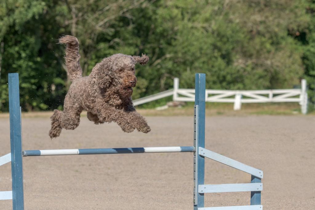 barbet macht agility