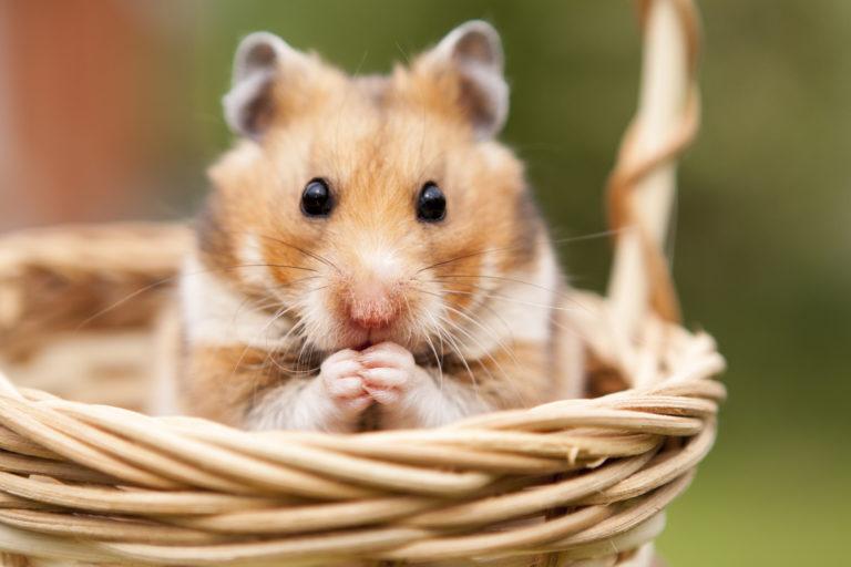 hamster rasseportrait