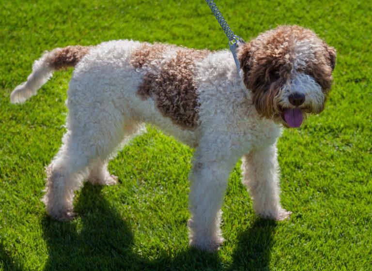 reinrassiger spanischer wasserhund