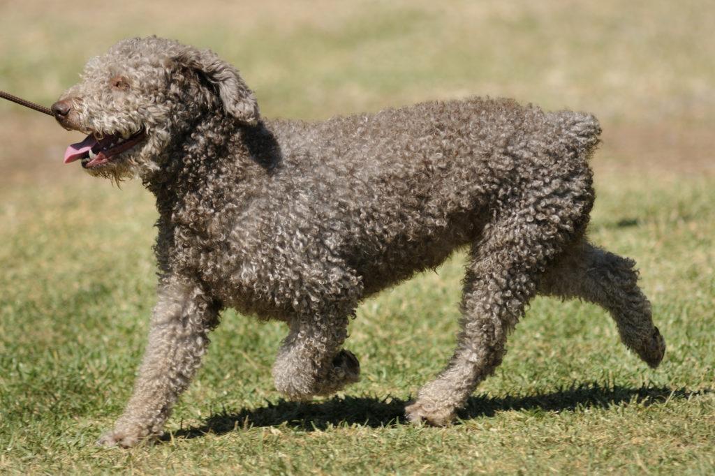 spanischer wasserhund im grass