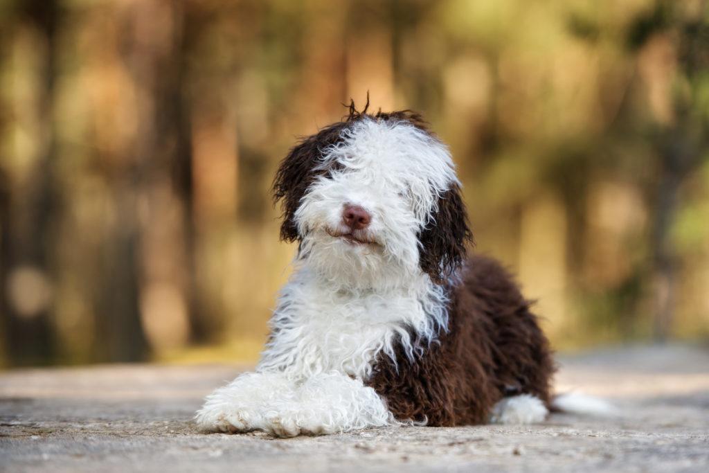 Spanischer Wasserhund Charakter Haltung Pflege