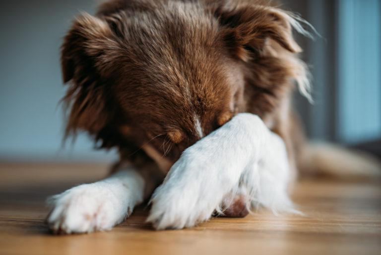 Ein Hund an Silvester hat Angst
