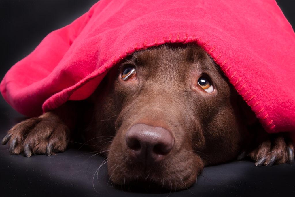 Labrador unter der decke