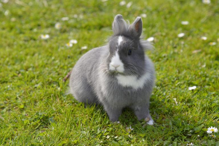 zweifarbig kaninchen im grass