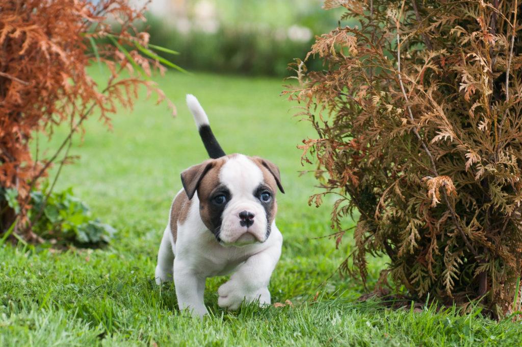 American Bulldog Charakter Haltung Pflege Rassebeschreibung