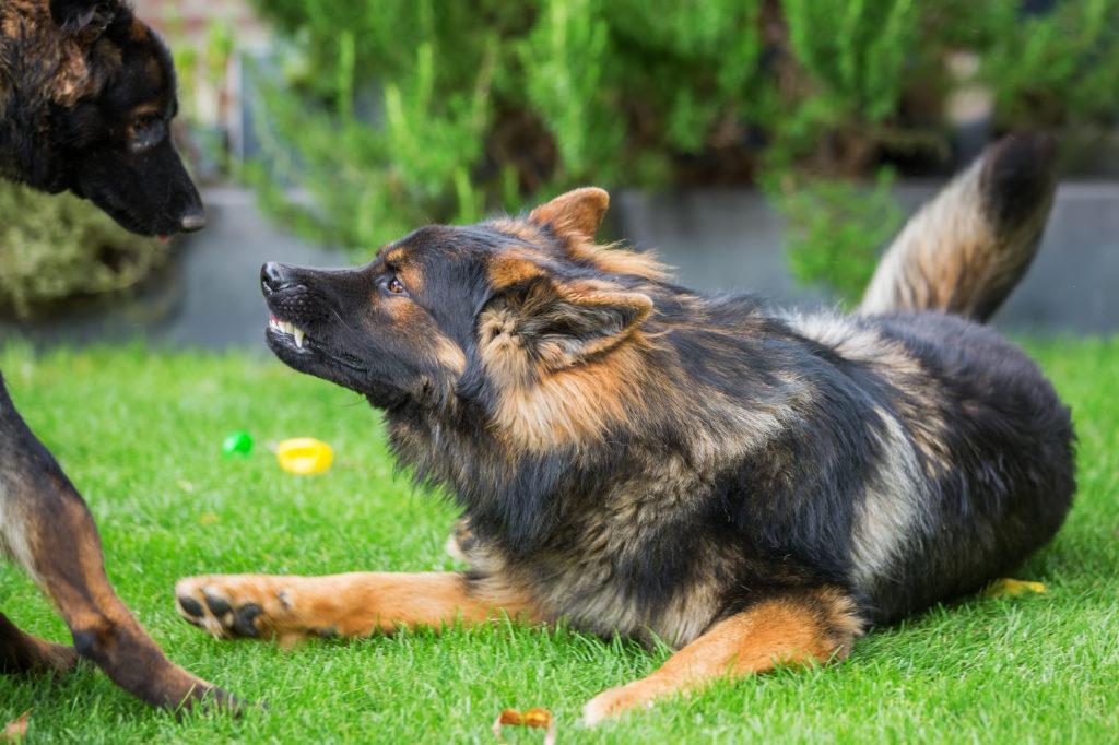 dominanz bei hunden altdeutscher schäferhunde