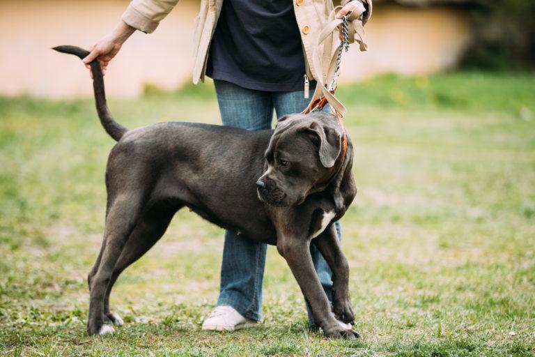 schwarz und weiß american bulldog