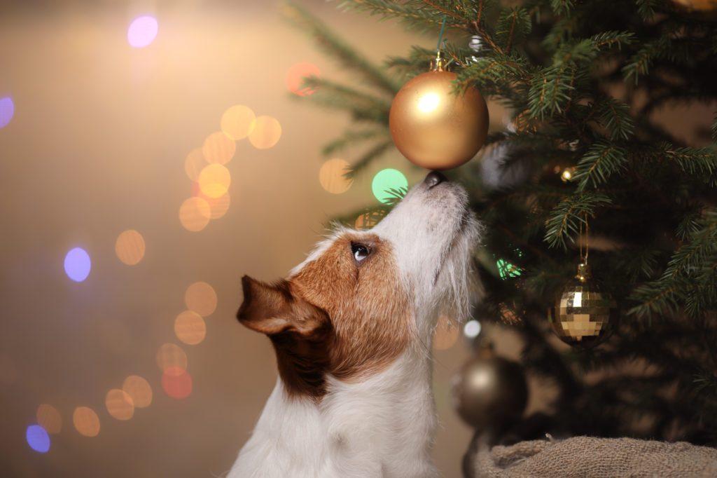 Hund schnüffelt an einer Christbaumkugel