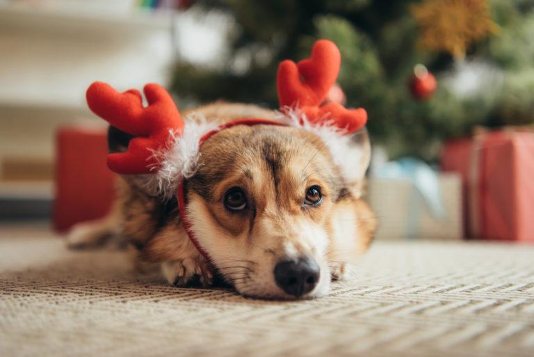 Welsh Corgi mit Weihnachtsgeweih