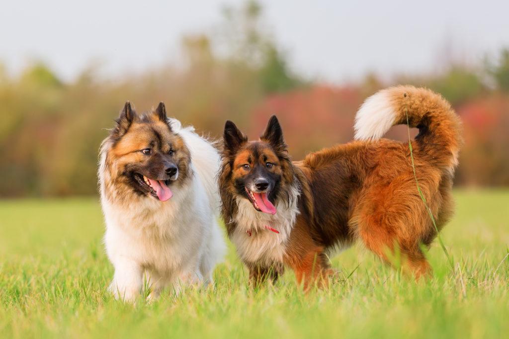 zwei elo hunde spielen