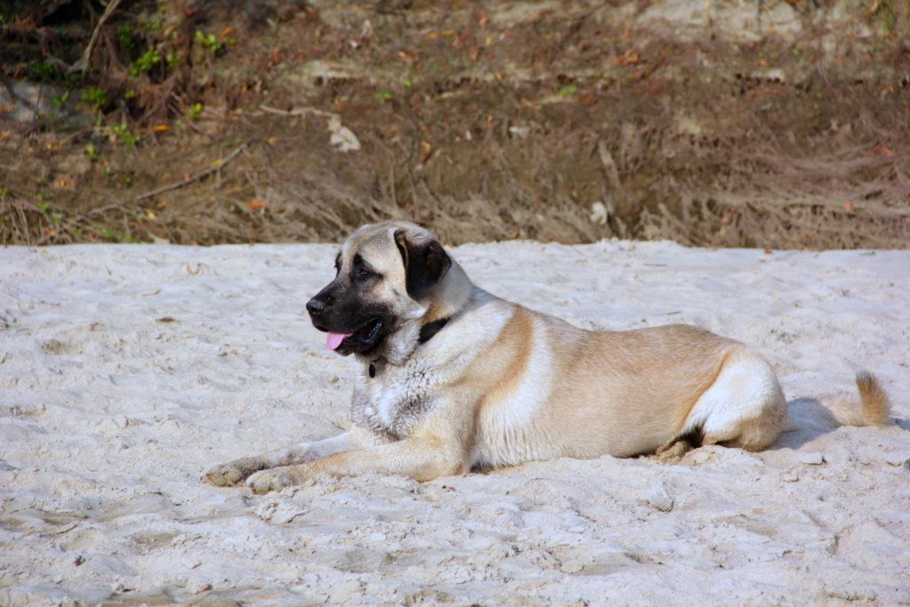 Kangal im Sand