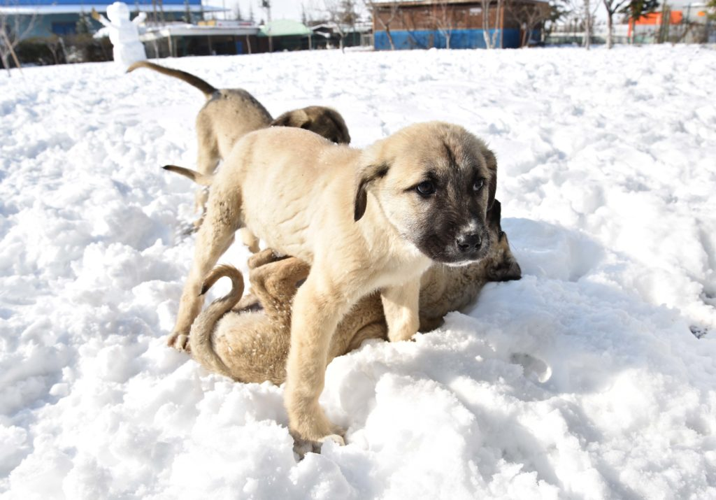 kangal welpen spielen im schnee