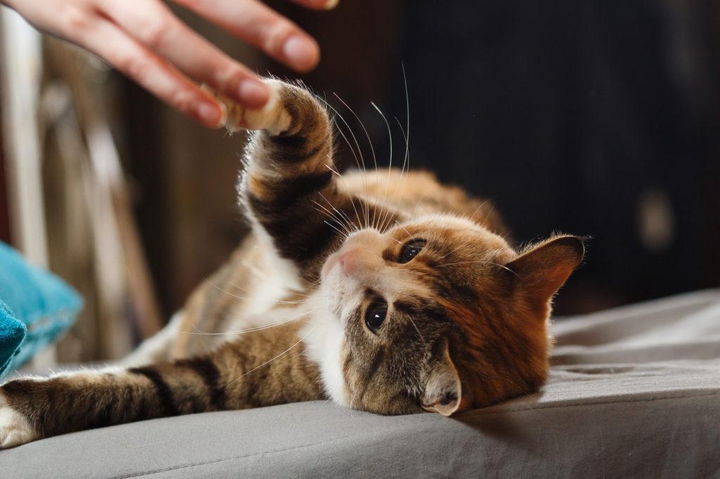 Kat die poot geeft