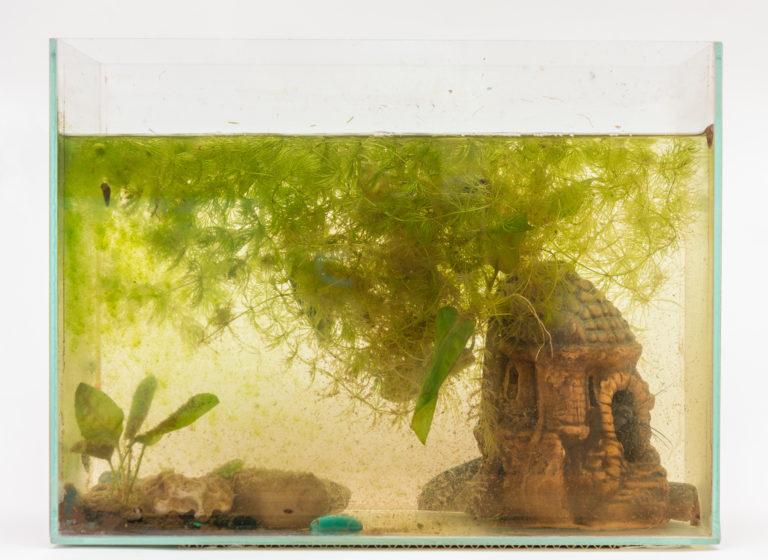 grünalgen im aquarium