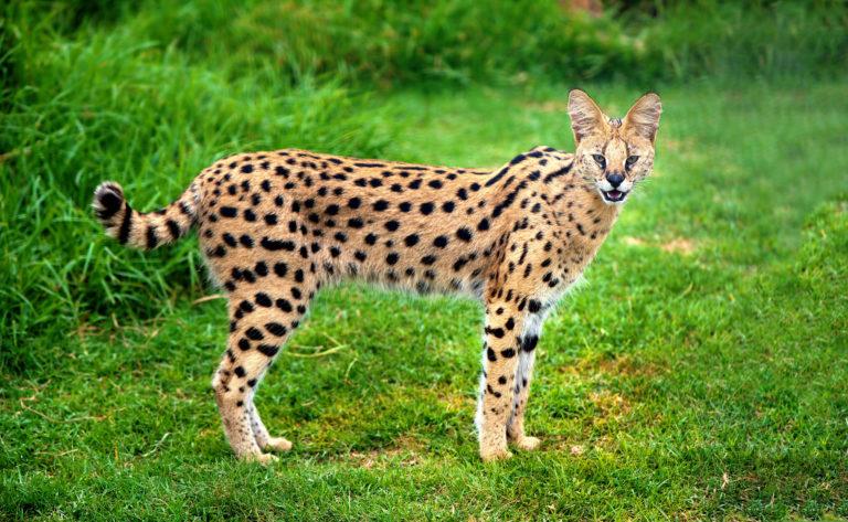 Serval im Grass