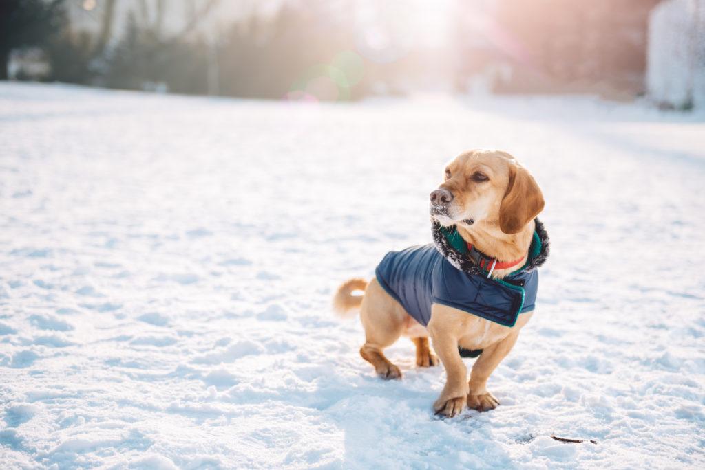 hund mit hundemantel im schnee