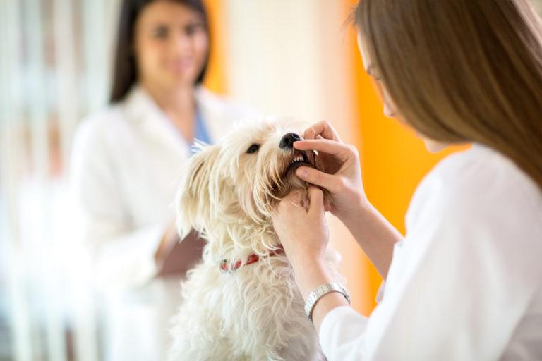 malteser zahnstein tierarzt