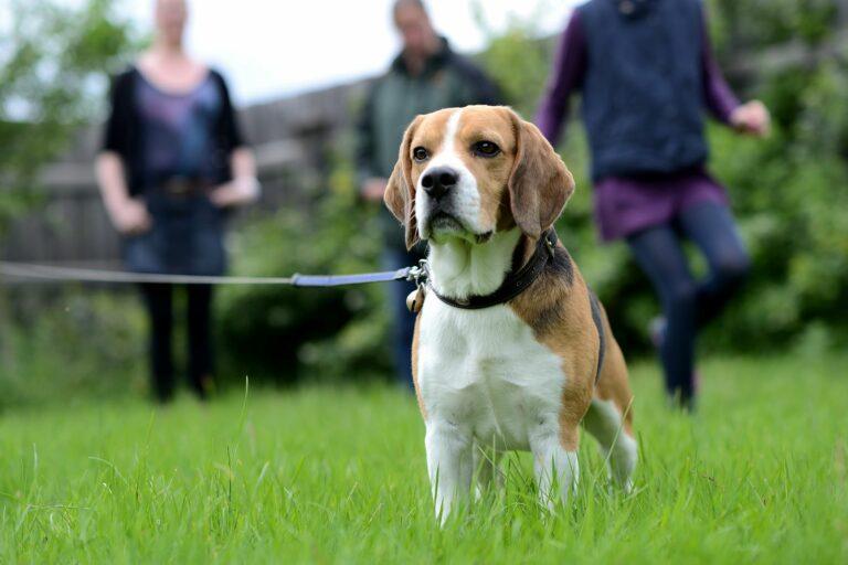 Beagle sind ein super Familienhund