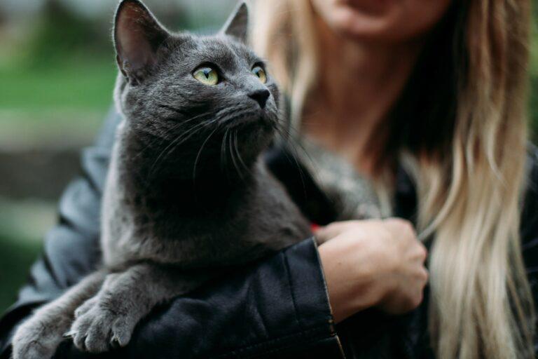 Ein Katzenzüchter übergibt eine Britisch-Kurzhaar Katze