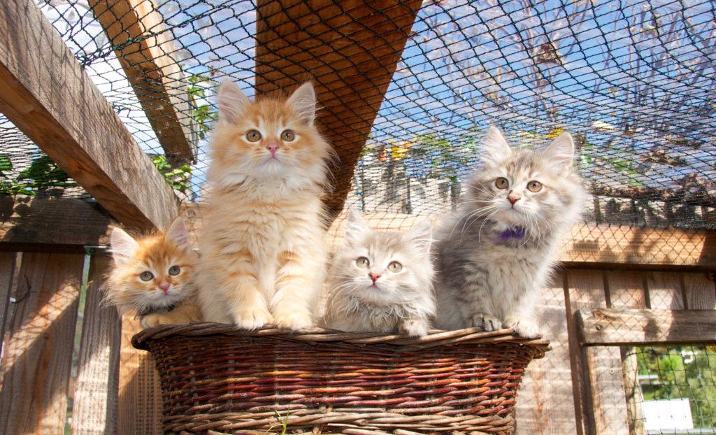 Rechte und Pflichten von Katzenzüchtern bei Kitten
